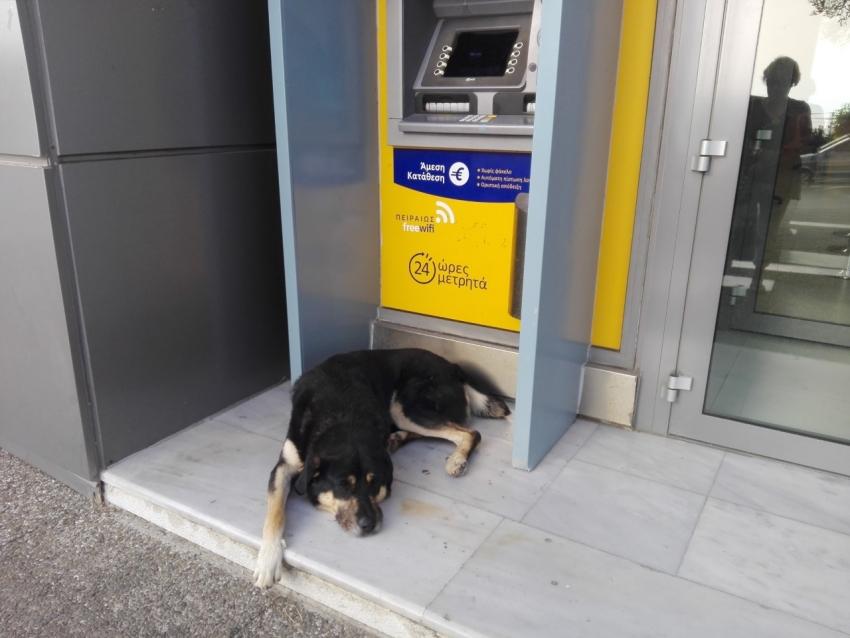 Ο σκύλος φύλακας <br> του ΑΤΜ στη <br> Ραφήνα (εικόνα)