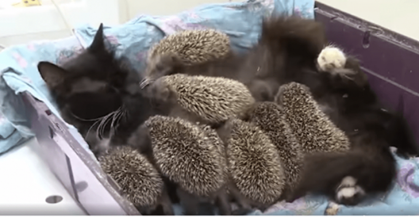Γατούλα θηλάζει <br> οκτώ μικρά <br> σκατζοχοιράκια (pic)