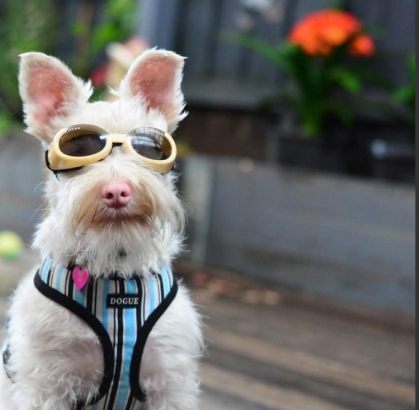 Σκυλάκι με πρόβλημα <br> όρασης φοράει <br> γυαλιά ηλίου (εικόνα)