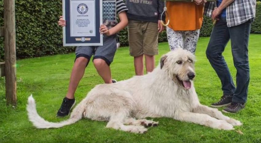 Το σκυλί με τη <br> μακρύτερη ουρά <br> στο ρεκόρ Γκίνες (vid)